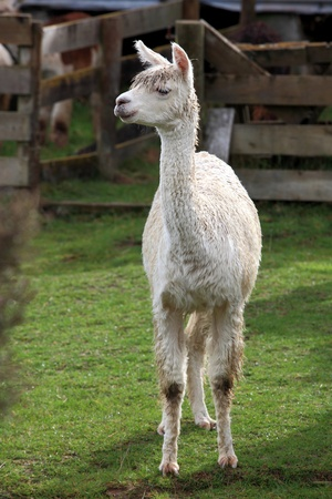 young lama in farm with green grass Stock Photo - 9365376