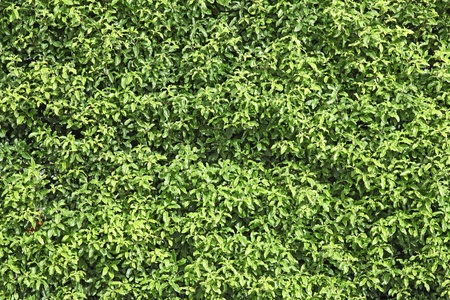 natural green leaf seamless bush wall using as background photo