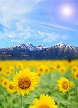 Sunflower Field with perfect sunny blue sky and snow alps background photo