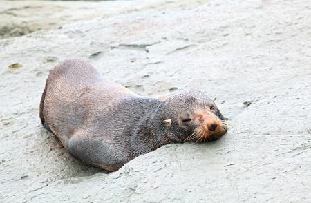 new zealand beach: sleeping wild seal sea lion on rocky coast
