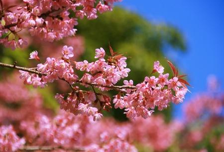 flower close up: Cherry Blossom Thai