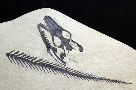 exploration Opetiosaurus Bucchichi Fossil embedded in stone Rock isolated on black background photo