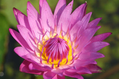 Macro of Pink Water Lily lotus using in Spa Stock Photo - 12331960