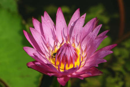 Pink Water Lily lotus with water drop photo
