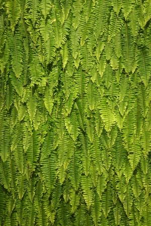 Nature Green Fresh Fern Background photo