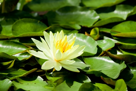 Yellow Water Lily lotus using in Spa photo