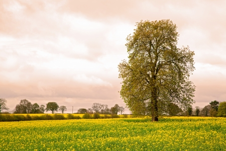 tall grass: Tree with yellow Canora oilseed flower Field