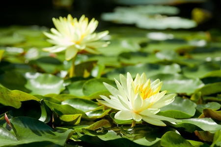 Yellow Water Lily lotus using in Spa, Focus at front one photo