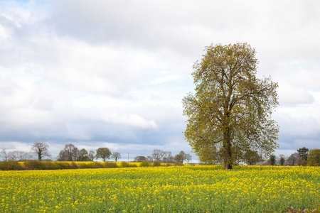 vacant: Tree with yellow Canola oilseed flower Field