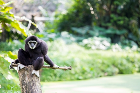 hominid: White hand Gibbon on wooden log in malaysia forest