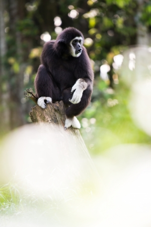 gibbon: White hand Gibbon on wooden log in malaysia forest