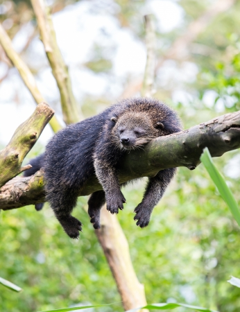 wild binturong bearcat sleeping on tree Reklamní fotografie