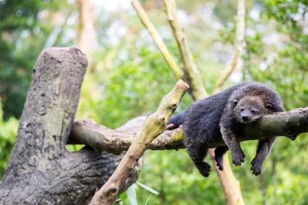 bearcat: wild binturong bearcat sleeping on tree Stock Photo