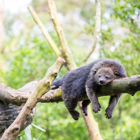 bearcat: wild binturong bearcat sleeping on tree Stock Photo
