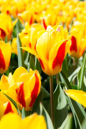 Fresh colorful tulips flower, Kuekenhof Netherland photo