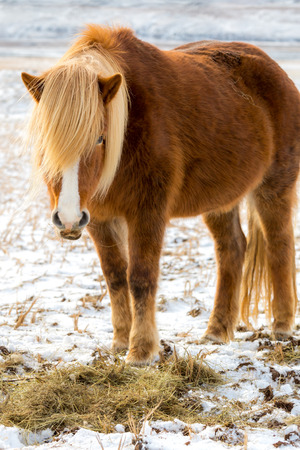 sawhorse: Icelandic horses in the fields of Iceland Stock Photo