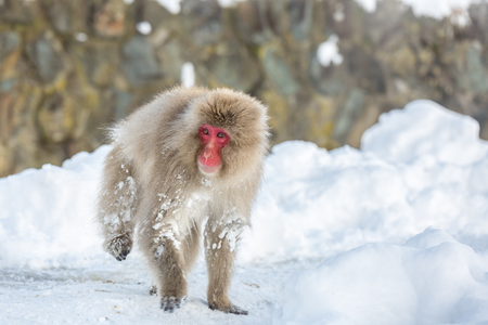 japanese people: Japanese Snow Monkey Macaque at Jigokudani Yudanaka Nagano Japan Stock Photo