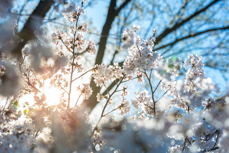 Sakura cherry Blossoms with sun beam Stock Photo