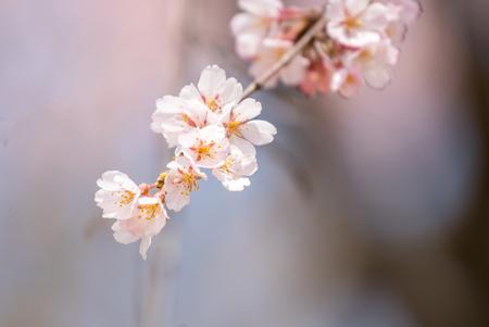 pink skies: Sakura Cherry blossoms for spring background japan Stock Photo