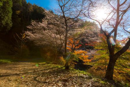 koyo: Nagoya, Obara. Autumn Landscape with sakura blossom. Shikizakura kind of sakura blooms once in spring, and again in autumn.