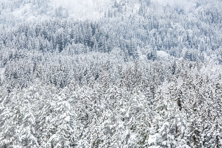 snow forest: snow forest in winter landscape Stock Photo