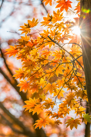 field maple: autumn leaves Yellow, orange and red in beautiful fall park.