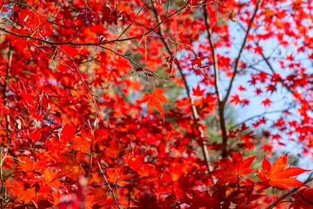 red autumn leaves in beautiful fall park.