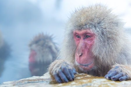 Japanese Snow monkey Macaque in hot spring Onsen Jigokudan Park, Nakano, Japan Stock Photo