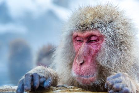 Japanese Snow monkey Macaque in hot spring Onsen Jigokudan Park, Nakano, Japan Stock Photo