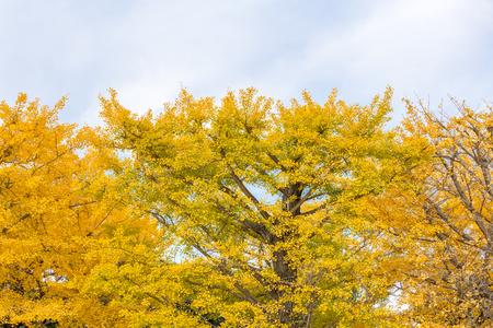 Ginkgo trees in Autumn in Tokyo Japan Stock Photo