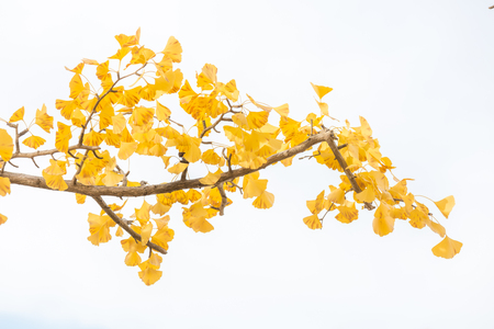 specific: Ginkgo trees in Autumn in Tokyo Japan Stock Photo