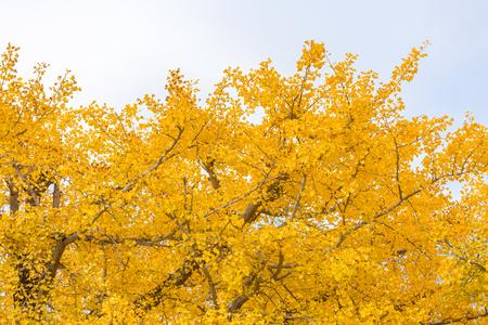 Ginkgo trees in Autumn in Tokyo Japan Stock Photo
