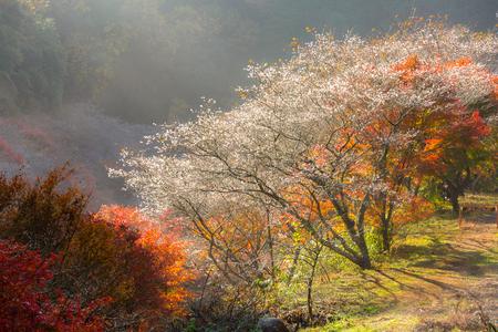 momiji: Nagoya, Obara. Autumn Landscape with sakura blossom. Shikizakura kind of sakura blooms once in spring, and again in autumn.