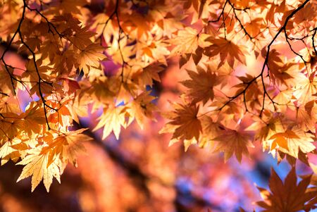 Red leave of maple tree for autumn fall background