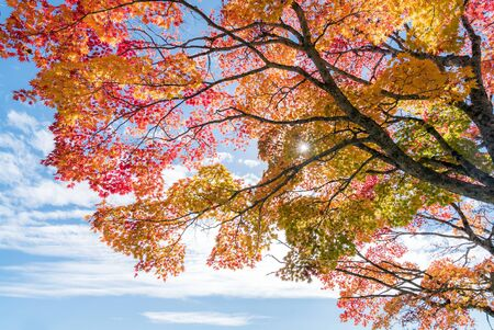 Red leave of maple tree for autumn fall background Reklamní fotografie - 130072344
