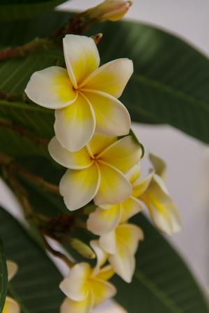 subtropical: Frangipani flowers