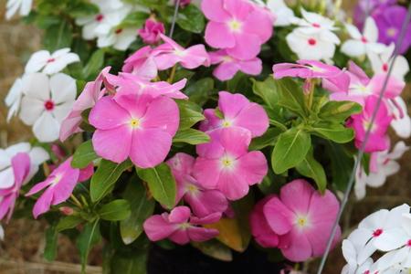 Vinca flower colorful nature