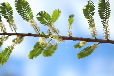 gooseberry: Flowers of Indian gooseberry.