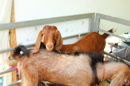 baby goat: Many brown goats are on the farm.