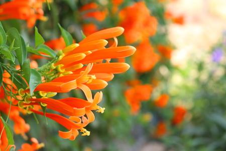 La trompeta naranja está en el jardín. Foto de archivo