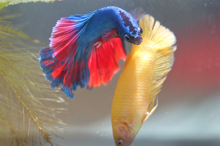 fish tail: Fish fighting is embracing for breeding.