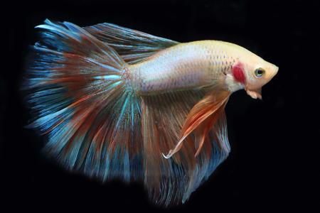 fish tail: Yellow fighting fish