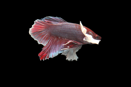 capture the moment: Red fighting fish on a black background. Stock Photo