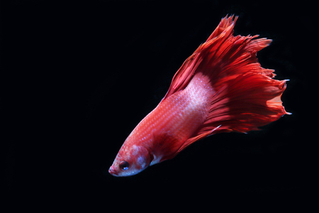 aquarium hobby: Red fighting fish