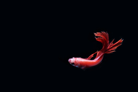 aquarium hobby: Red fighting fish on a black background. Stock Photo