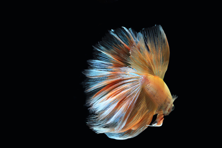 Yellow fighting fish on a black background. Stock Photo