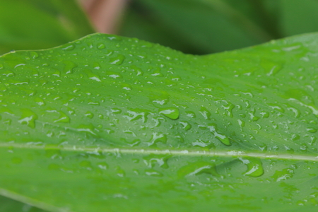 Water on green leaves in rainy season. Stock Photo