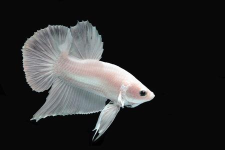 White platinum Fighting fish.
