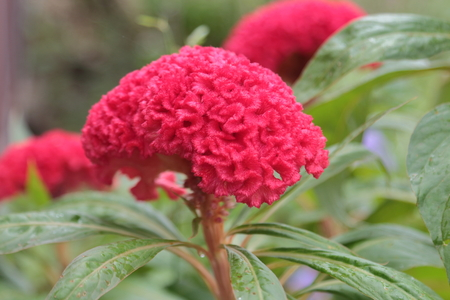 Red chinese wool flower In the garden.