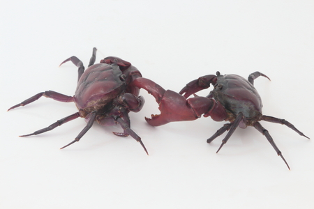 pincers: Two crabs on a white background.